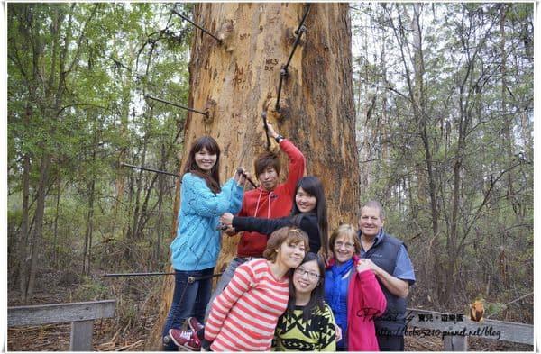 【澳洲】西南澳。DAY4-2 挑戰高度極限!Pemberton Gloucester tree爬樹梯去 & Beedelup Falls