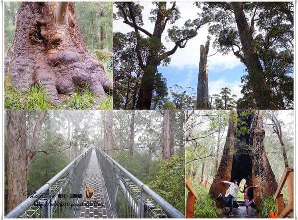 【澳洲】西南澳。Day5-1 Walpole天空步道,讓我們在森林中行走!充滿芬多精的tree top walk