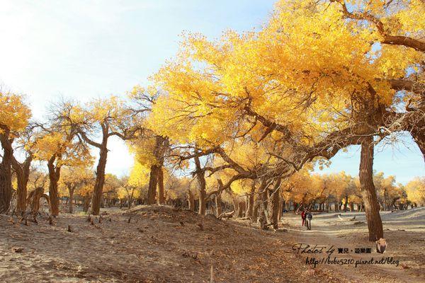 【2013北京、內蒙古】Day4-2額濟納胡楊林(下)。三千年的執著,只為胡楊樹下的守望