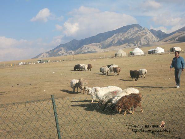 【2014中國新疆】新疆宰羊事件簿。