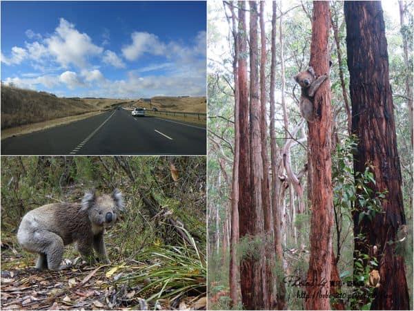 【2014澳洲。Melbourne】Day3-1 租車玩墨爾本。超美大洋路,Cape Otway 遇到爆炸多的野生無尾熊!