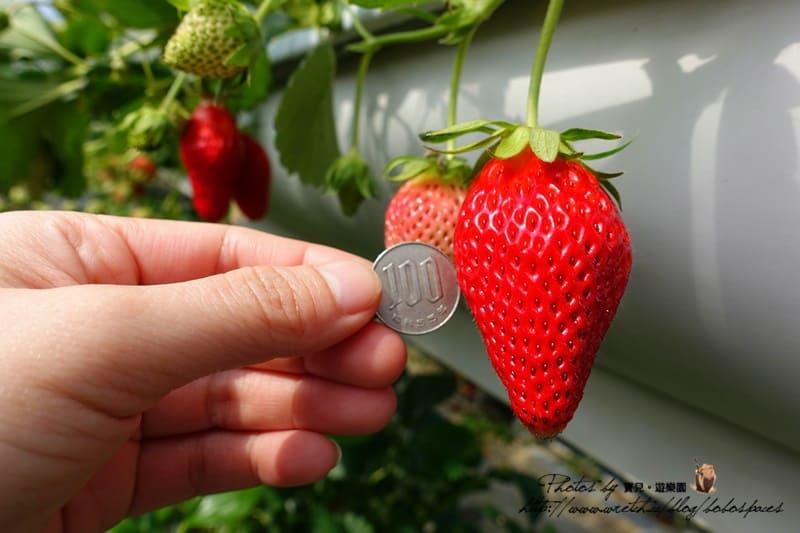 【日本名古屋|採草莓】草莓控的天堂!蒲郡橘子樂園,超大草莓不限時吃到飽!
