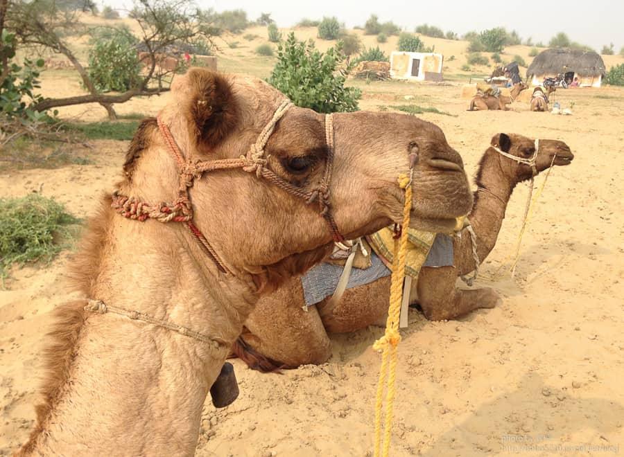 【印度】Day23 拉賈斯坦邦,齋沙默爾Jaisalmer。來塔爾沙漠(Thar Desert),吃一頓美味的沙子大餐吧!