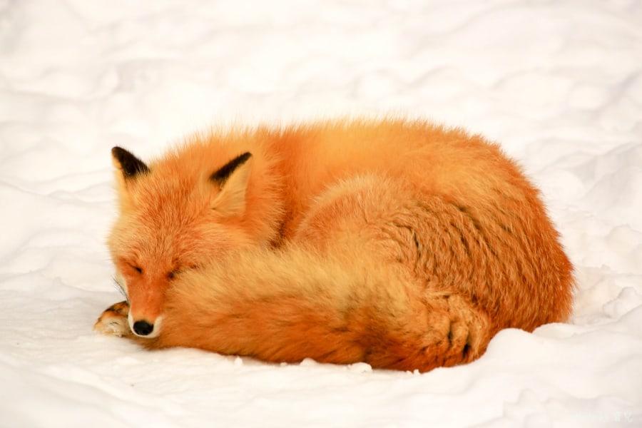 【北海道北見景點|北狐牧場】北見狐狸村(北きつね牧場) ,雪地上閃耀的金色光芒。